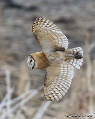 Owl On The Prowl (pandatub) Tags: ebparks ebparksok bird birds owl barnowl hrs haywardregionalshoreline