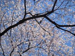 Sakura at Ueno Park, Tokyo (NengHetty) Tags: tokyo temple shrine park ueno sakura cherryblossoms tree cherry blossom japan 桜 東京 東京都