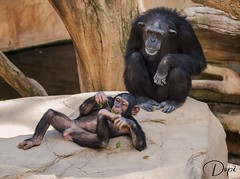 _A108137 (dopior) Tags: 2010 animales chimpance simio