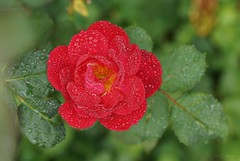 rote Rose (Ellenore56) Tags: 15092018 rose rot red sprühregen regentropfen raindrops rain redrose rosenblüte blüte blume flower flowerpower floral flora edelrose rosenzauber floribunda flowers magicflower bloom florescende botanik botanical spray dizzle gentlerain wassertropfen waterdrop tropfen drop drops tröpfchen droplet h2o natur nature pflanze plant pflanzenwelt detail moment augenblick sichtweise perception perspektive perspective reflektion reflection reflexion farbe color colour licht light inspiration imagination faszination magic sonyslta77 ellenore56 september wetter weather emotion roterosen