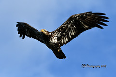 Juvenile Bald Eagle DSC_0623 (Ron Kube Photography) Tags: vacation bcvacation2018 2018 holidays nikon nikond500 d500 ronaldok ronkubephotography