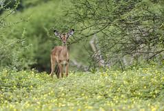 Impala and Devil thorns (Sheldrickfalls) Tags: duiweltjie devilthorns thorns makuleke makulekeconcession pafuri krugernationalpark kruger krugerpark impala rooibok limpopo southafrica
