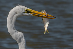 Spear Fishing (Kevin Fox D500) Tags: greategret egret edwinbforsythenationalwildliferefuge edwinbforsythe forsythe nature nikond500 nikon newjersey bird birding birdwatching birds sigma150600sport sigma shorebird shorebirds