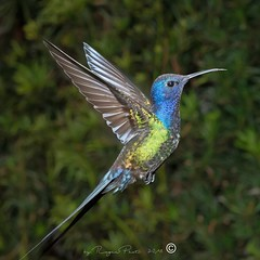 _RSP3507 (Roger Hummingbirds) Tags: animal nature bird birds colibri wildlife hummingbird wings flight feeder flower nectar south america rain forest color colorful colour fly flying spread blue green delicate flora floral beauty inflight ornithology wild brazil beijaflor tesourinha kolibrie feathers outdoor verde azul natureza do sul vôo voando delicado flores