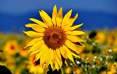 Tournesol d'arrière saison (Diegojack) Tags: vaud suisse echandens d500 nikon nikonpassion fleurs tournesols abeilles insectes