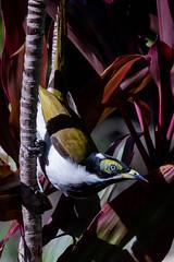Blue-faced Honeyeater (armct) Tags: entomyzoncyanotis bluefaced honeyeater immature juvenile australian native indigenous bird portrait nikon d810 200500mm nikkor goldcoast queensland australia hinterland