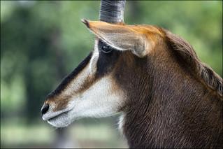 Woburn 2018 Scimitar Horned Oryx flkr