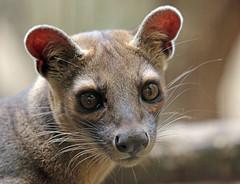 fossa duisburg 094A0285 (j.a.kok) Tags: fossa fretkat madagascar africa animal afrika predator mammal zoogdier dier duisburg