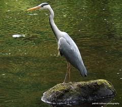Grey heron (patrickcolhoun) Tags: bird nature wildlife animal buncrana countydonegal ireland donegal river heron