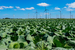 Cabbage and turbines (xrxss15) Tags: architecture architektur building cabbage clouds europe friedrichskoog gemüse germany hamburg072017 himmel horizon horizont kohl landscape landschaft natur nature pflanzen plants schleswigholstein sky vegetables windturbine windrad wolken