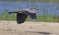 Great Blue Heron / Grand Héron (ricketdi) Tags: grandhéron ardeaherodias greatblueheron