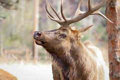 Eye See What Ewe are Doing (JollyGreenJohn) Tags: elk estespark colorado usa wildlife outdoors nature 70300mm canont5i flickr larimer rockymountainnationalpark