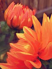 Finger Painting (Steve Taylor (Photography)) Tags: digitalart green brown yellow orange newzealand nz southisland canterbury christchurch flower dahlia petals fence texture