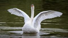 Swan (Joe Milham) Tags: swan nikon nature wild d7200