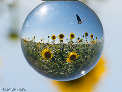 The magical crystal ball :) (PerfumeG2011 (on and off )) Tags: flowers nature helianthus 2018 beauty saintsévère sunflowers saintsévèrequébeccanada canada heron composite ardeidae crystalball