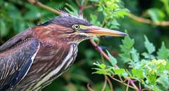 Watchful Eye (dianne_stankiewicz) Tags: watchful eye heron nature wildlife bird feathers