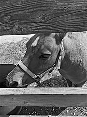 The Little Fellow Monochrome (brianarchie65) Tags: horse fence apples skidby colour monochrome blackandwhite blackandwhitephotos blackandwhitephoto blackandwhitephotography blackwhite123 blackwhiterealms yorkshireblackandwhite flickrunofficial flickr flickruk flickrcentral flickrinternational ukflickr unlimitedphotos ngc brianarchie65 iphonese geotagged yorkshirecameraramblers