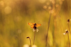 tramonto d'agosto (@5imonapol) Tags: august summer sunset bokeh life butterfly bug gold wings melitaea didyma