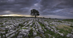 The Lone Tree -- Malham North Yorkshire (scon4061) Tags: malham malhamlonetree northyorkshire dawn fujifilmxt1 fujifilm14mmf28 limestonepavement uk england yorkshiredales clouds