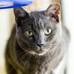 Stanley02Sep201812.jpg (fredstrobel) Tags: pawsatanta atlanta places pets animals ga usa pawscats cats decatur georgia unitedstates us