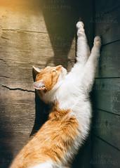 lazy cat (lera_abrakadabra) Tags: cat catslovers cutecat animalphotography summertime relaxation catface gingerwhitecat lazycat laziness paws rustic everydaylife casual meow kitty mimimi