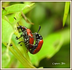 Red Bugs or Beetles mating (todd5524) Tags: bugs insects mate mating colors colorful nature amazing outdoors nikon photography photoshop