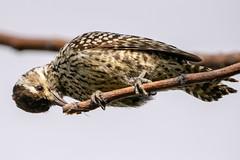 Carpintero bataraz chico - Checkered  woodpecker (Diego Kondratzky) Tags: carpinterobatarazchico recs comuna01 buenosaires argentina ar checkeredwoodpecker picoidesmixtus veniliornismixtus