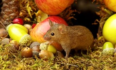 Wild garden house mouse in a Autumn  setting  (7) (Simon Dell Photography) Tags: wild garden house mouse nature animal cute funny fun moss covered log pile acorns nuts berries berrys fuit apple high detail rodent wildlife eye ears door home sheffield ul old english country s12 simon dell apples autumn fall winter fruits seasonal photography