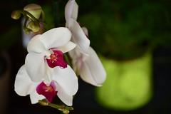 DSC_8127 (emina.knezevic) Tags: flower macro orchid nikond3200 nature nikonphotographer flowerphotos closeupphotography closeup