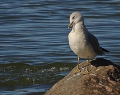 Just saying ... (Jacques Trempe 3,38M hits - Merci-Thanks) Tags: stefoy quebec canada goeland gull oiseau bird faune fauna eau water fleuve river stlaurent stlawrence toilette grooming roche rock
