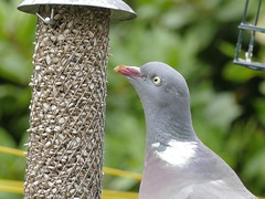 Yum - sunflower seeds!! (Powderpuff GP) Tags: pigeon birdfeeder lumixfz1000 sunflowerseeds eye gardenwildlife