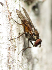 Forest Fly (treegrow) Tags: newzealand paparoanationalpark nature lifeonearth raynoxdcr250 arthropoda insect diptera fly muscidae