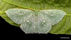 Geometer Moth, Geometridae (Ecuador Megadiverso) Tags: andreaskay birdwatcherslodge ecuador geometermoth geometridae mindo moth