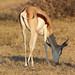 Antidorcas marsupialis (Springbok)