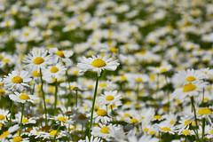Field of Dove, Potštejn (Rostam Novák) Tags: field dove potštejn