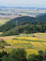 fly around over the rice fields (murozo) Tags: raptores bird rice field autumn nikaho akita japan road tree forest 猛禽類 鳥 田圃 秋 にかほ 秋田 日本 道 木 森