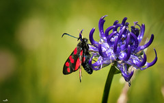 Six-spot burnet (VandenBerge Photography (Back again!)) Tags: sintjansvlinder sixspotburnet macro nature closeup colors colours butterfly insect flower flora season summer green canon eos80d zygaenafilipendulae