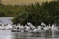 Snow Geese (Peter Stahl Photography) Tags: snowgeese geese fall migration flock