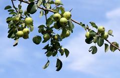 Birne, Wild- / European wild pear (pyrus pyraster) (HEN-Magonza) Tags: botanischergartenmainz mainzbotanicalgardens rheinlandpfalz rhinelandpalatinate birne wildbirne europeanwildpear pyruspyraster
