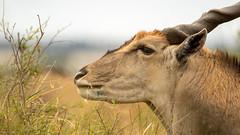 Nairobi-Nationalpark 010 (ovg2012) Tags: commoneland eland elenantilope kenia kenya nairobinationalpark safari