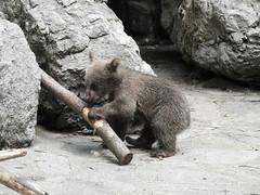 Ours brun de Syrie à Servion (CH). Un des 3 bébés de Martine, nés en janvier 2018. (Annelise LE BIAN) Tags: animaux servion suisse oursons ours ursusarctossyriacus oursbrundesyrie sunshine