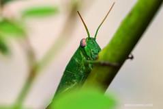 Visite aliene (RoLiXiA) Tags: cavalletta ortottero giardino insetto macro sigma105 nikond90 grasshopper green verde