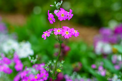 Pretty little flowers (edzwa) Tags: sydney newsouthwales australia au flower flowers pink green bokeh bokehlicious garden closeup sigma50mm14art