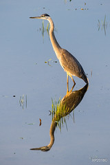 Morning Glow (xiaoping98) Tags: morning reflection greatblueheron light summer birdingphotography ottawa