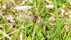 White Faced Meadowhawk (Victoria Park, Nova Scotia) (TheNovaScotian1991) Tags: whitefacedmeadowhawk dragonfly grass novascotia canada victoriapark beautiful insect flyinginsect nikond3200 afsdxnikkor55200mmf456gedvrii ground outdoor nature