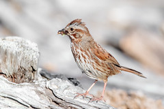 Song Sparrow (Linda Martin Photography) Tags: spencerspitstatepark usa wa melospizamelodia pugetsound us songsparrow washingtonstate lopezisland naturethroughthelens coth coth5 alittlebeauty ngc specanimal npc