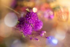 乾燥後的圓圓花依舊可以繼續它的夢幻旅程 (Curitis Chen) Tags: sony sonyalpha sonya7ii flower