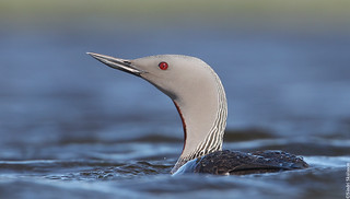Red-throated Diver Lómur 117
