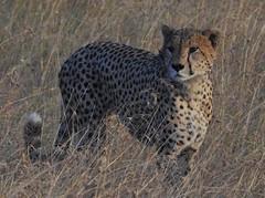 0544e  cheetah portrait (jjjj56cp) Tags: animal animals cheetah cheetahportrait portrait inthewild cats bigcats feline spotted inthegrasses masaimara grassland hunting stalking camouflage dotted closeup gazing kenya africa safari africansafari p900 jennypansing wildlife