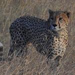 0544e  cheetah portrait thumbnail